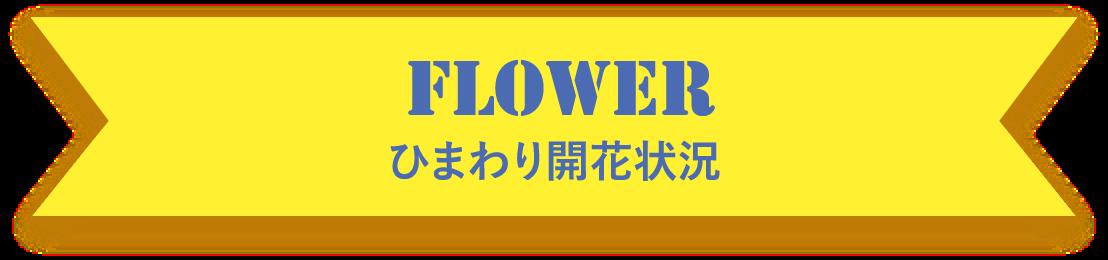 FLOWER ひまわり開花状況